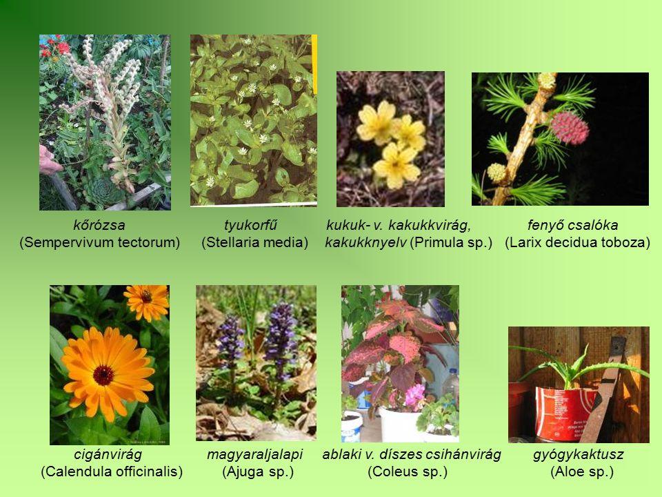 kőrózsa tyukorfű kukuk- v. kakukkvirág, fenyő csalóka (Sempervivum tectorum) (Stellaria media) kakukknyelv (Primula sp.) (Larix decidua toboza) cigánv
