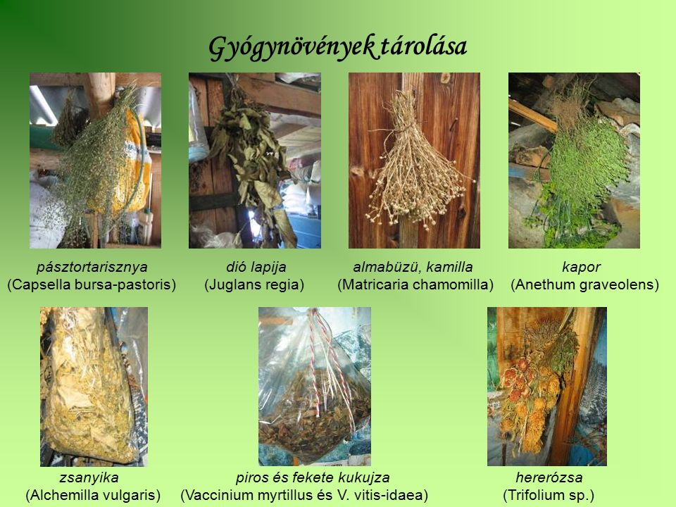 pásztortarisznya dió lapija almabüzü, kamilla kapor (Capsella bursa-pastoris) (Juglans regia) (Matricaria chamomilla) (Anethum graveolens) zsanyika pi