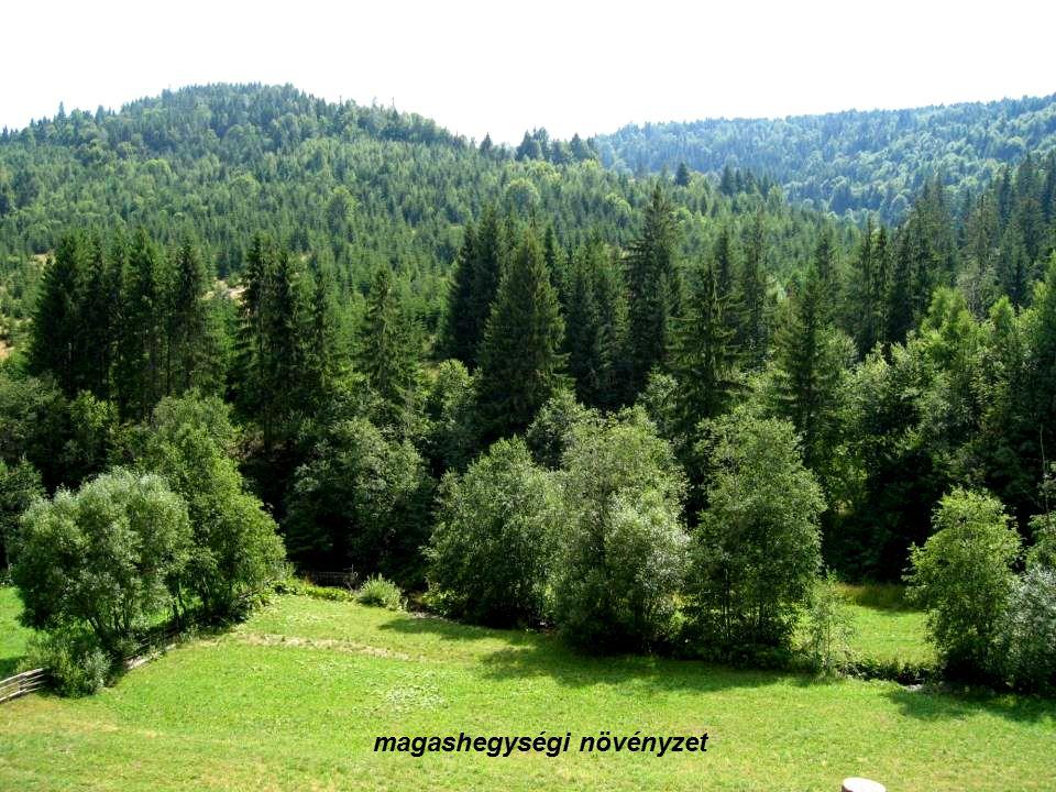 MOLDVA - csángó magyarok - gazdag hagyományőrző tevékenységek + növények használata - gyógynövényeket a házban felakasztva tárolják - nem adják pénzért.