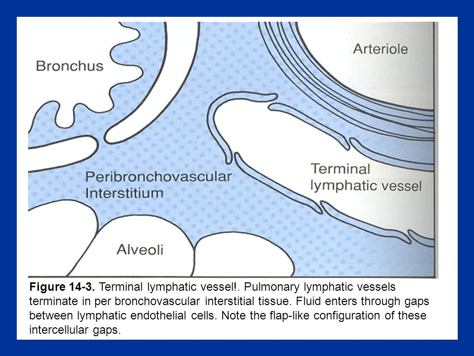 Figure 14-3.Terminal lymphatic vessel!.