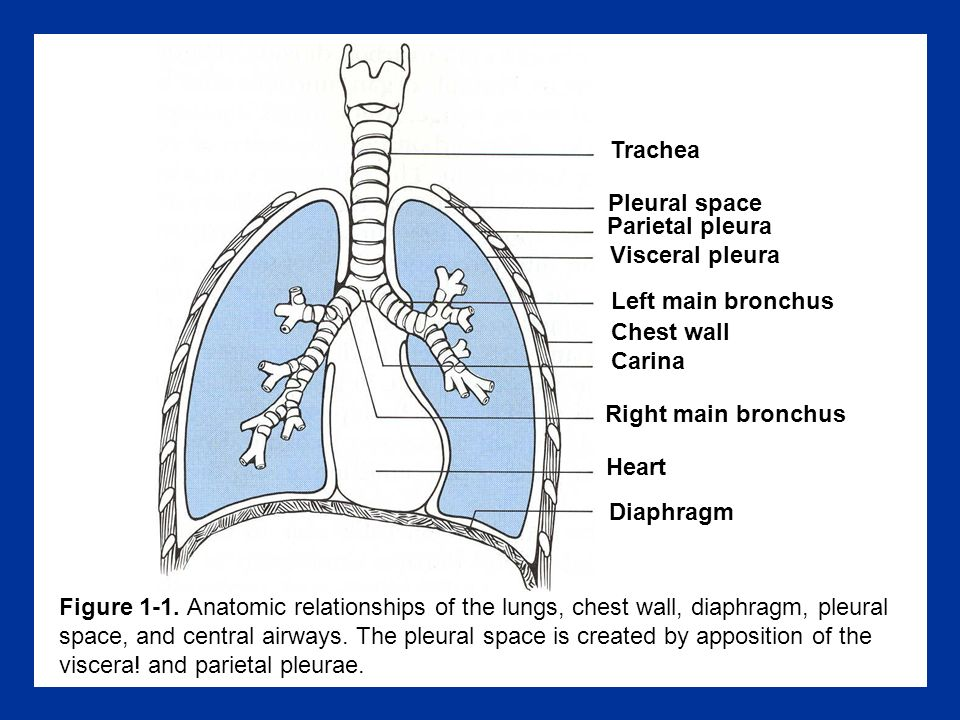 Figura 9-5.Relationship between bronchial and pulmonary circulations.