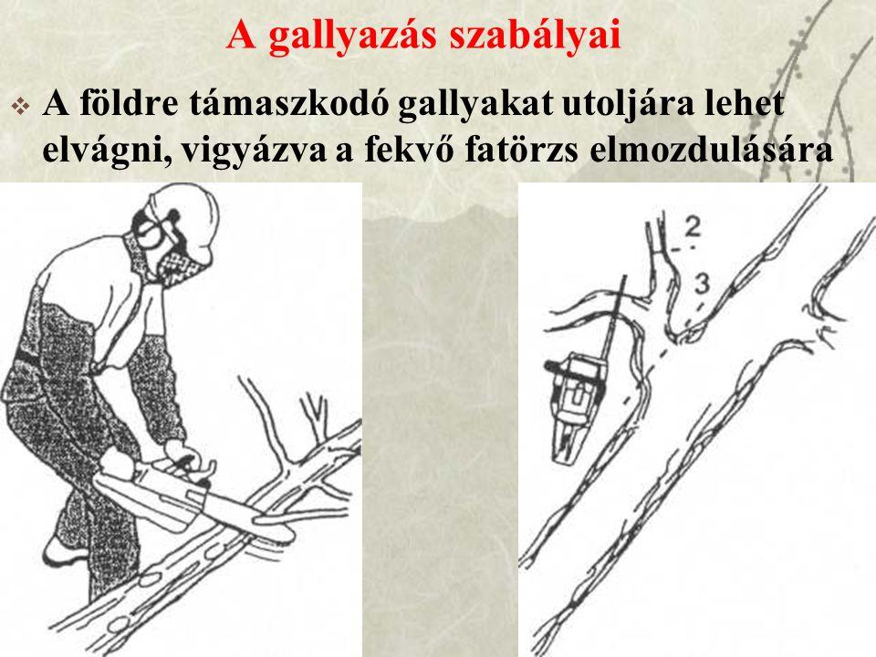 A gallyazás szabályai  A földre támaszkodó gallyakat utoljára lehet elvágni, vigyázva a fekvő fatörzs elmozdulására