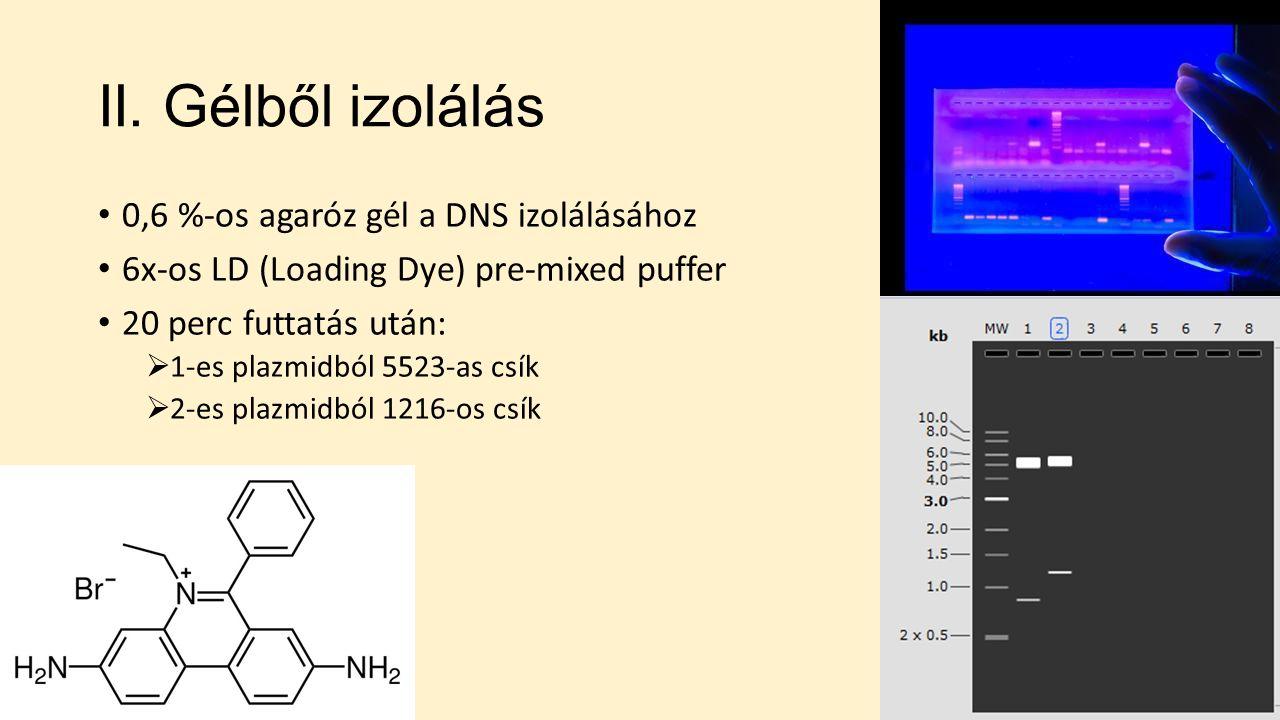 II. Gélből izolálás 0,6 %-os agaróz gél a DNS izolálásához 6x-os LD (Loading Dye) pre-mixed puffer 20 perc futtatás után:  1-es plazmidból 5523-as cs