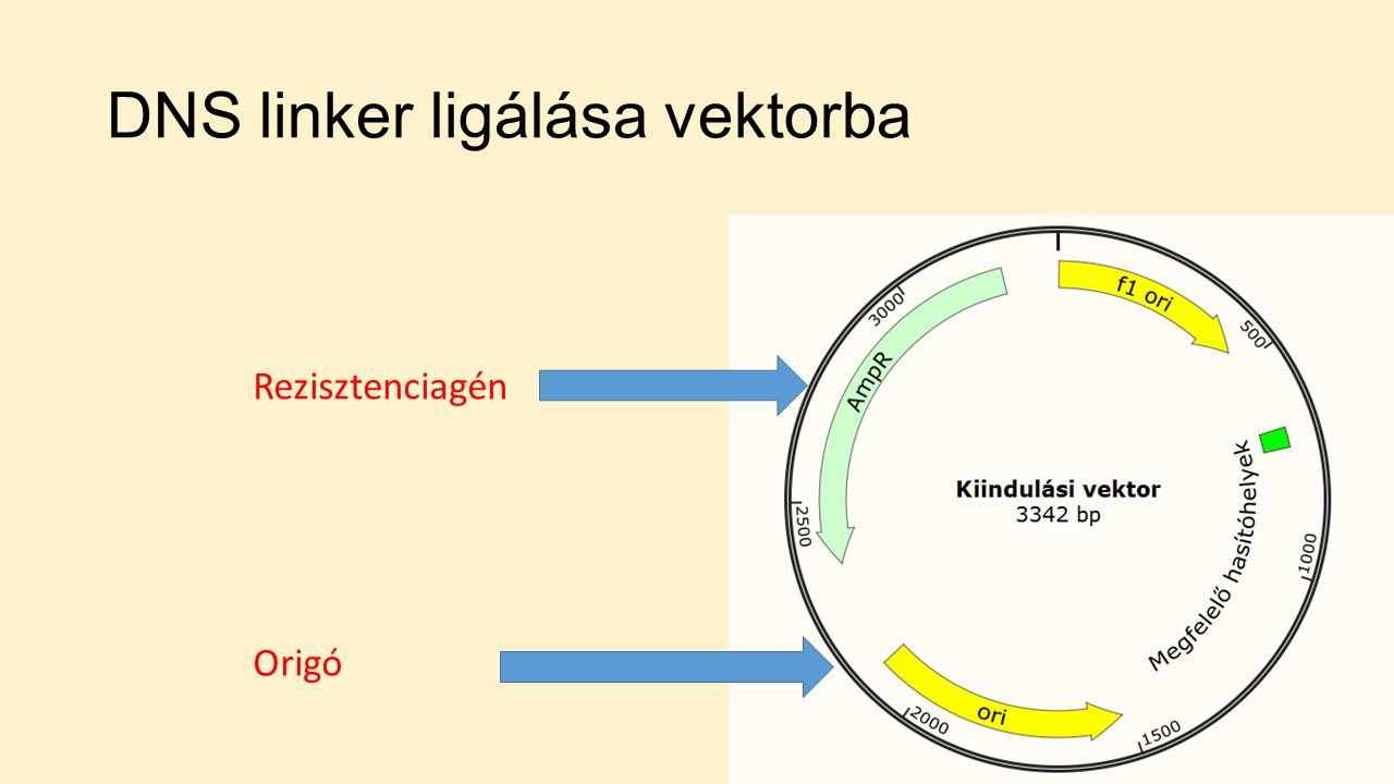 DNS linker ligálása vektorba Rezisztenciagén Origó