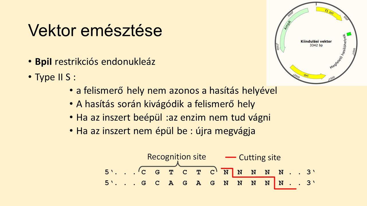 Vektor emésztése BpiI restrikciós endonukleáz Type II S : a felismerő hely nem azonos a hasítás helyével A hasítás során kivágódik a felismerő hely Ha az inszert beépül :az enzim nem tud vágni Ha az inszert nem épül be : újra megvágja