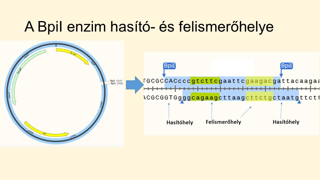A BpiI enzim hasító- és felismerőhelye FelismerőhelyHasítóhely