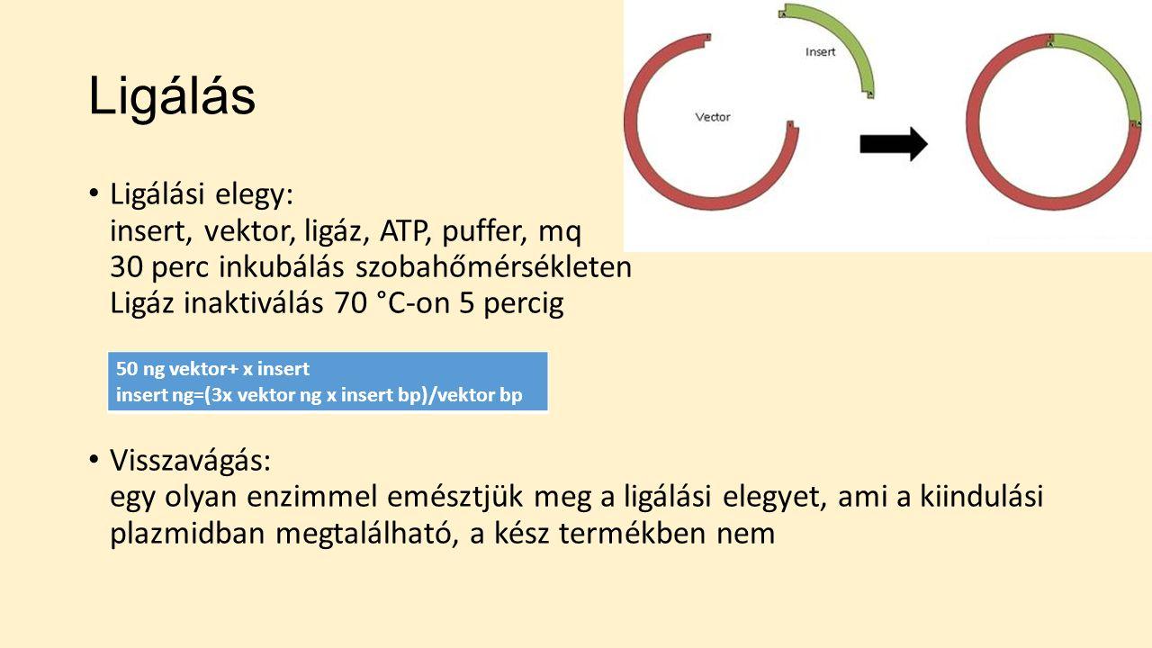 Ligálás Ligálási elegy: insert, vektor, ligáz, ATP, puffer, mq 30 perc inkubálás szobahőmérsékleten Ligáz inaktiválás 70 °C-on 5 percig Visszavágás: egy olyan enzimmel emésztjük meg a ligálási elegyet, ami a kiindulási plazmidban megtalálható, a kész termékben nem 50 ng vektor+ x insert insert ng=(3x vektor ng x insert bp)/vektor bp