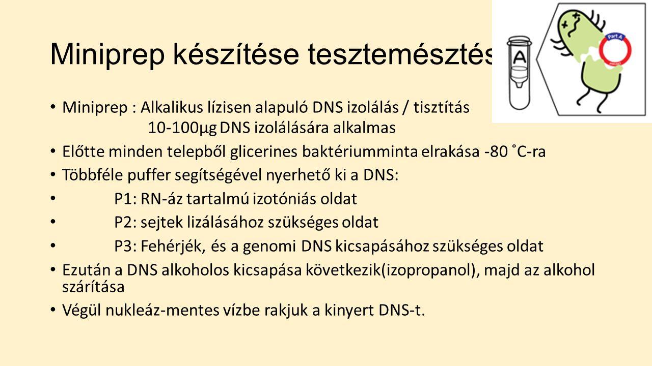 Miniprep készítése tesztemésztéshez Miniprep : Alkalikus lízisen alapuló DNS izolálás / tisztítás 10-100µg DNS izolálására alkalmas Előtte minden telepből glicerines baktériumminta elrakása -80 ˚C-ra Többféle puffer segítségével nyerhető ki a DNS: P1: RN-áz tartalmú izotóniás oldat P2: sejtek lizálásához szükséges oldat P3: Fehérjék, és a genomi DNS kicsapásához szükséges oldat Ezután a DNS alkoholos kicsapása következik(izopropanol), majd az alkohol szárítása Végül nukleáz-mentes vízbe rakjuk a kinyert DNS-t.