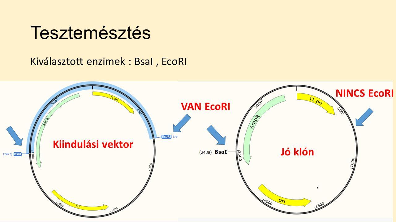 Tesztemésztés Kiindulási vektor Jó klón Kiválasztott enzimek : BsaI, EcoRI VAN EcoRI NINCS EcoRI