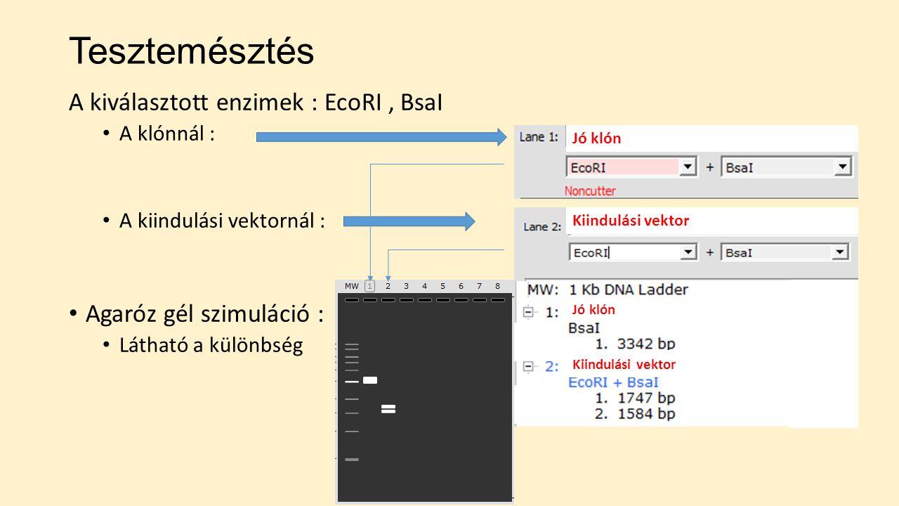 Tesztemésztés A kiválasztott enzimek : EcoRI, BsaI A klónnál : A kiindulási vektornál : Agaróz gél szimuláció : Látható a különbség Jó klón Kiindulási vektor Jó klón Kiindulási vektor