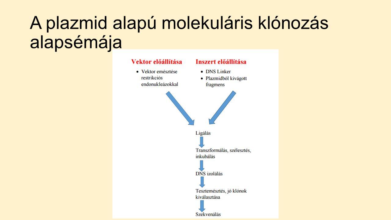 A plazmid alapú molekuláris klónozás alapsémája
