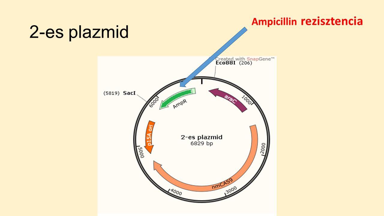 2-es plazmid Ampicillin rezisztencia