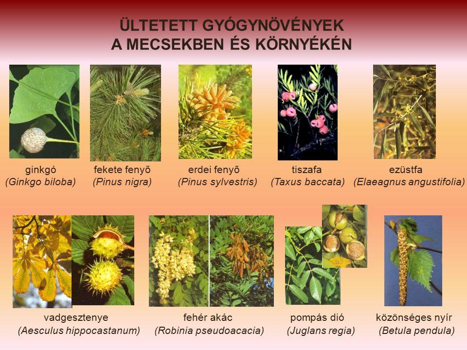 ÜLTETETT GYÓGYNÖVÉNYEK A MECSEKBEN ÉS KÖRNYÉKÉN ginkgó fekete fenyő erdei fenyő tiszafa ezüstfa (Ginkgo biloba) (Pinus nigra) (Pinus sylvestris) (Taxus baccata) (Elaeagnus angustifolia) vadgesztenye fehér akác pompás dió közönséges nyír (Aesculus hippocastanum) (Robinia pseudoacacia) (Juglans regia) (Betula pendula)