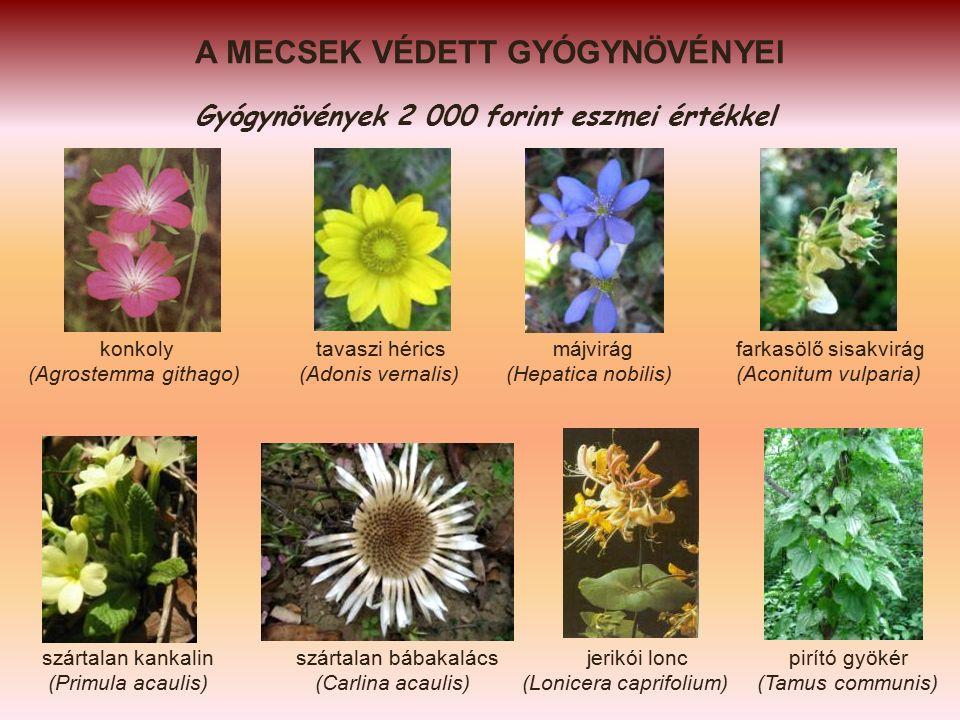 A MECSEK VÉDETT GYÓGYNÖVÉNYEI Gyógynövények 2 000 forint eszmei értékkel konkoly tavaszi hérics májvirág farkasölő sisakvirág (Agrostemma githago) (Adonis vernalis) (Hepatica nobilis) (Aconitum vulparia) szártalan kankalin szártalan bábakalács jerikói lonc pirító gyökér (Primula acaulis) (Carlina acaulis) (Lonicera caprifolium) (Tamus communis)