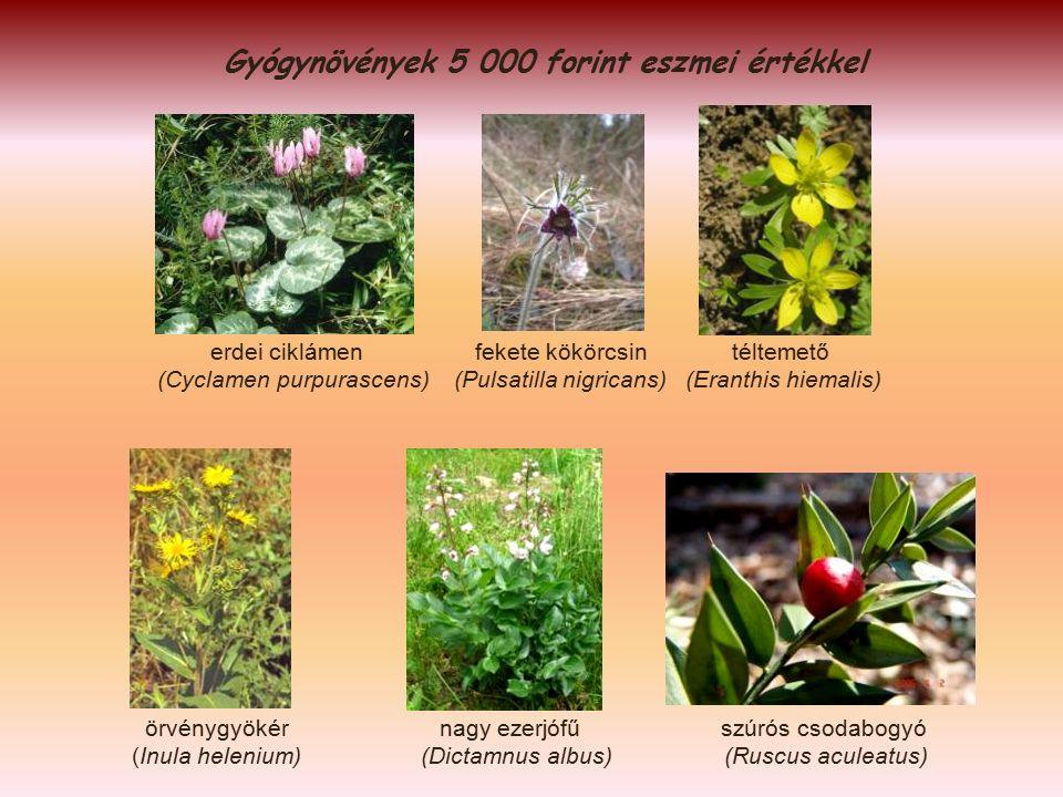 Gyógynövények 5 000 forint eszmei értékkel erdei ciklámen fekete kökörcsin téltemető (Cyclamen purpurascens) (Pulsatilla nigricans) (Eranthis hiemalis) örvénygyökér nagy ezerjófű szúrós csodabogyó (Inula helenium) (Dictamnus albus) (Ruscus aculeatus)