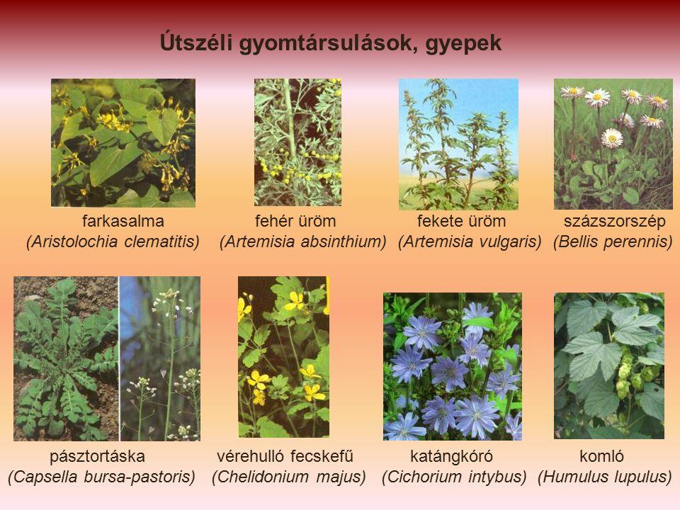 farkasalma fehér üröm fekete üröm százszorszép (Aristolochia clematitis) (Artemisia absinthium) (Artemisia vulgaris) (Bellis perennis) pásztortáska vérehulló fecskefű katángkóró komló (Capsella bursa-pastoris) (Chelidonium majus) (Cichorium intybus) (Humulus lupulus)