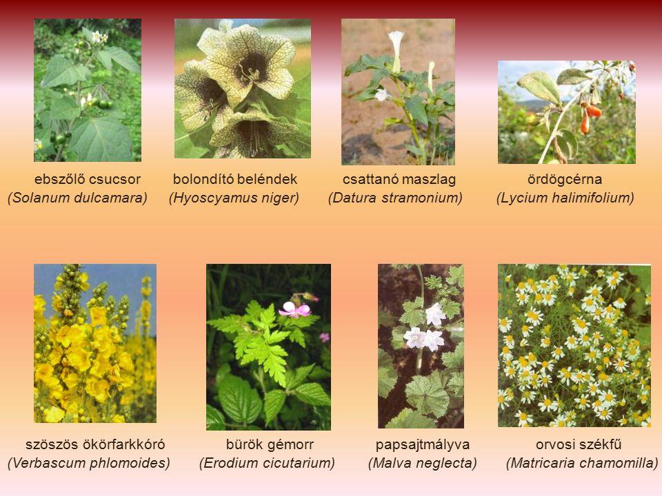 ebszőlő csucsor bolondító beléndek csattanó maszlag ördögcérna (Solanum dulcamara) (Hyoscyamus niger) (Datura stramonium) (Lycium halimifolium) szöszös ökörfarkkóró bürök gémorr papsajtmályva orvosi székfű (Verbascum phlomoides) (Erodium cicutarium) (Malva neglecta) (Matricaria chamomilla)
