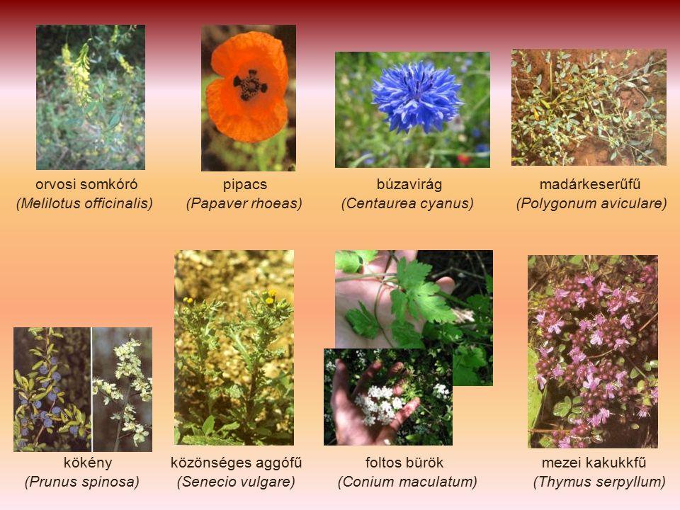 orvosi somkóró pipacs búzavirág madárkeserűfű (Melilotus officinalis) (Papaver rhoeas) (Centaurea cyanus) (Polygonum aviculare) kökény közönséges aggófű foltos bürök mezei kakukkfű (Prunus spinosa) (Senecio vulgare) (Conium maculatum) (Thymus serpyllum)