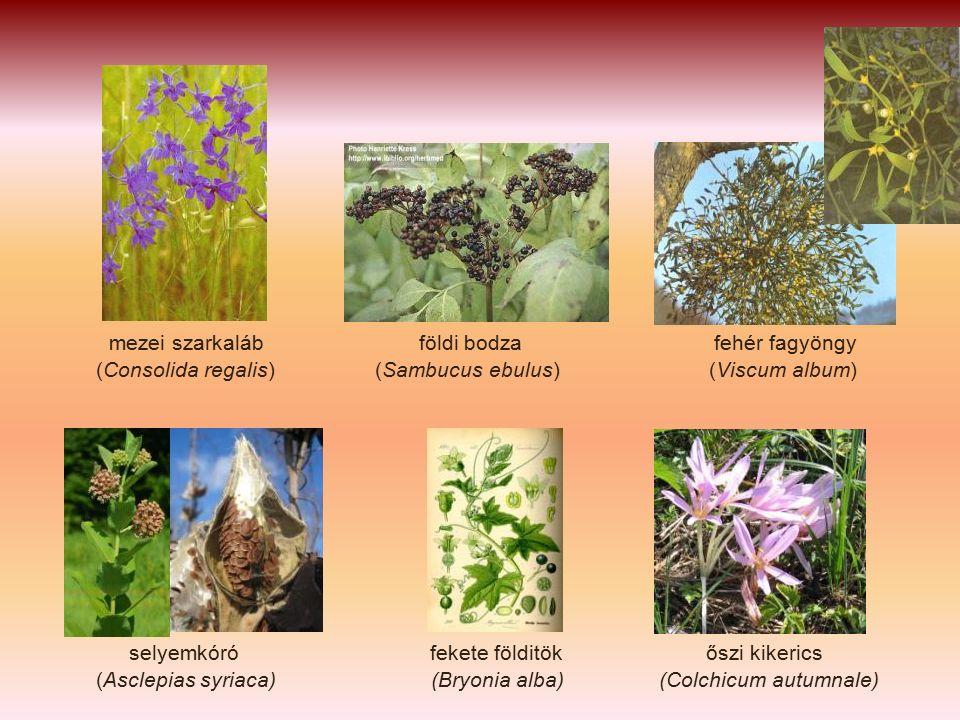 mezei szarkaláb földi bodza fehér fagyöngy (Consolida regalis) (Sambucus ebulus) (Viscum album) selyemkóró fekete földitök őszi kikerics (Asclepias syriaca) (Bryonia alba) (Colchicum autumnale)