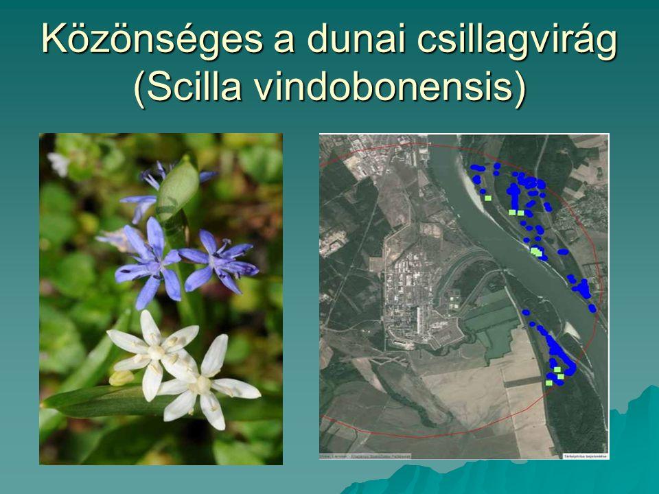 Közönséges a dunai csillagvirág (Scilla vindobonensis)