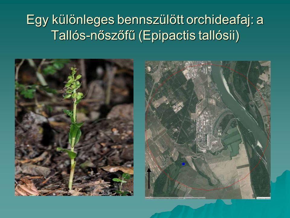 Egy különleges bennszülött orchideafaj: a Tallós-nőszőfű (Epipactis tallósii)