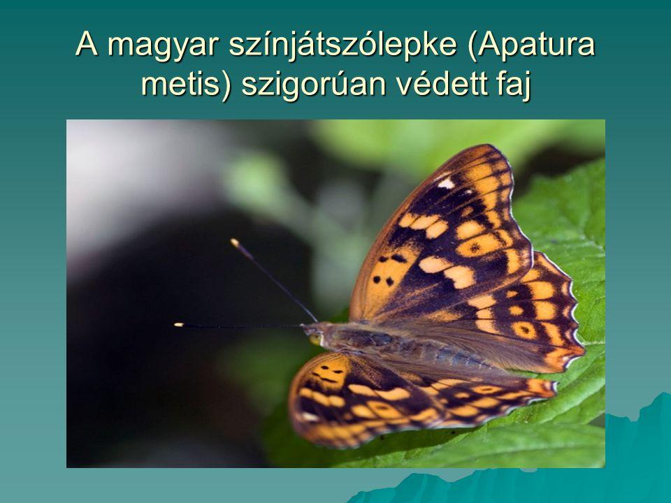 A magyar színjátszólepke (Apatura metis) szigorúan védett faj