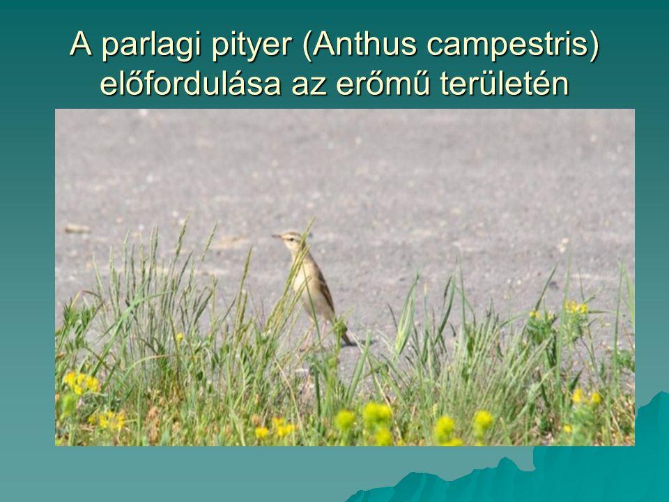 A parlagi pityer (Anthus campestris) előfordulása az erőmű területén