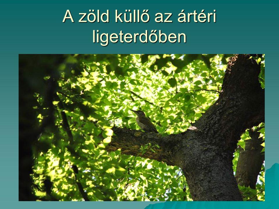 A zöld küllő az ártéri ligeterdőben