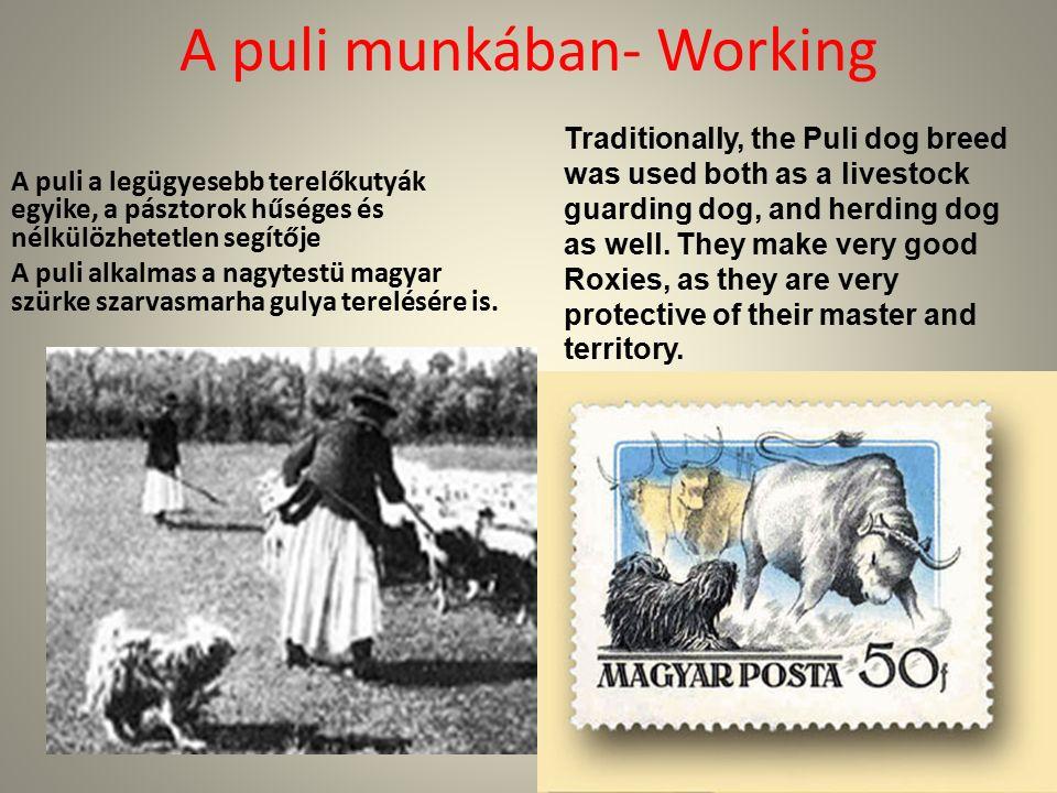 A puli munkában- Working A puli a legügyesebb terelőkutyák egyike, a pásztorok hűséges és nélkülözhetetlen segítője A puli alkalmas a nagytestü magyar szürke szarvasmarha gulya terelésére is.