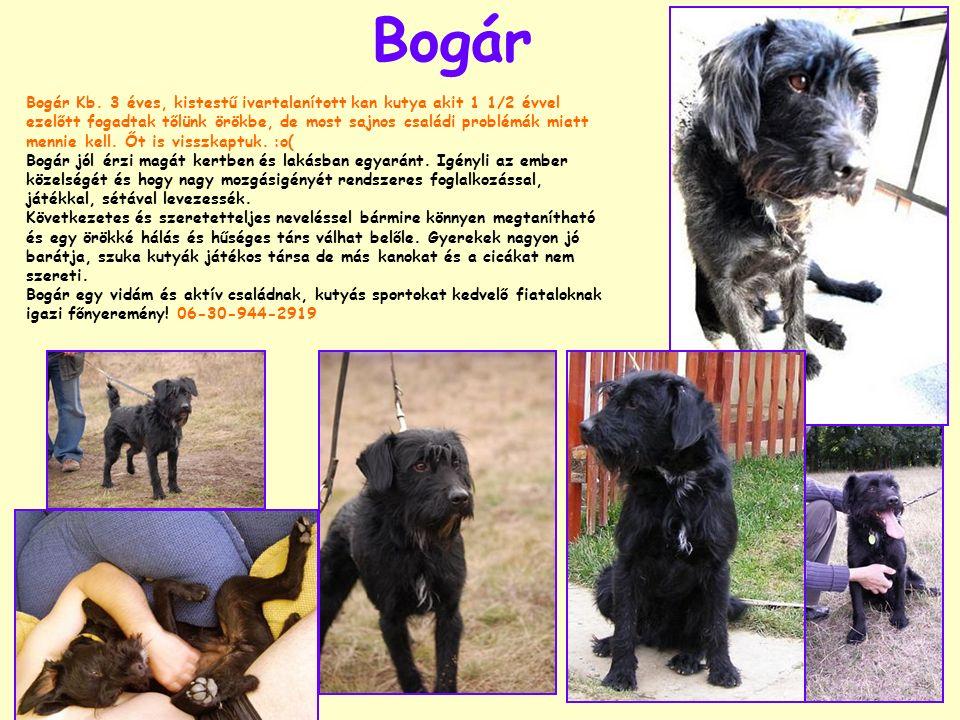 Bogár Bogár Kb. 3 éves, kistestű ivartalanított kan kutya akit 1 1/2 évvel ezelőtt fogadtak tőlünk örökbe, de most sajnos családi problémák miatt menn