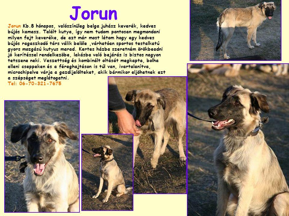 Jorun Jorun Kb.8 hónapos, valószínűleg belga juhász keverék, kedves bújós kamasz. Talált kutya, így nem tudom pontosan megmondani milyen fajt keveréke