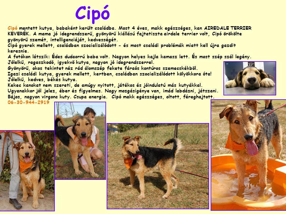 Cipó Cipó mentett kutya, babaként került családba. Most 4 éves, makk egészséges, kan AIREDALE TERRIER KEVERÉK. A mama jó idegrendszerű, gyönyörű kiáll
