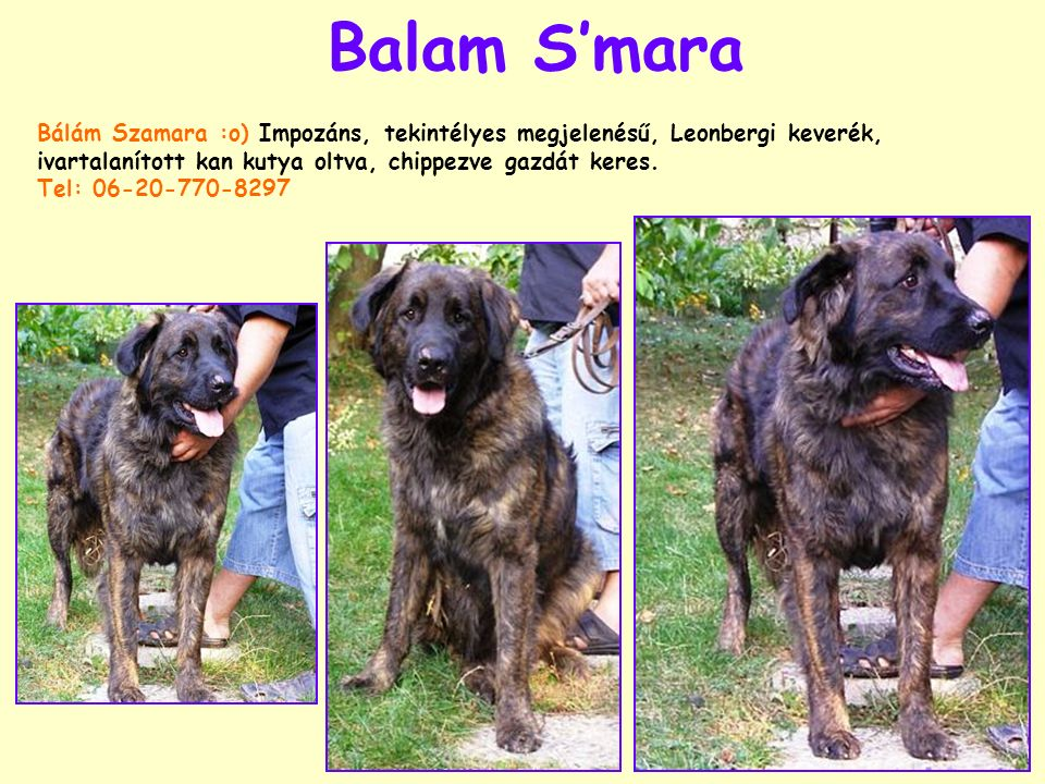 Balam S'mara Bálám Szamara :o) Impozáns, tekintélyes megjelenésű, Leonbergi keverék, ivartalanított kan kutya oltva, chippezve gazdát keres. Tel: 06-2