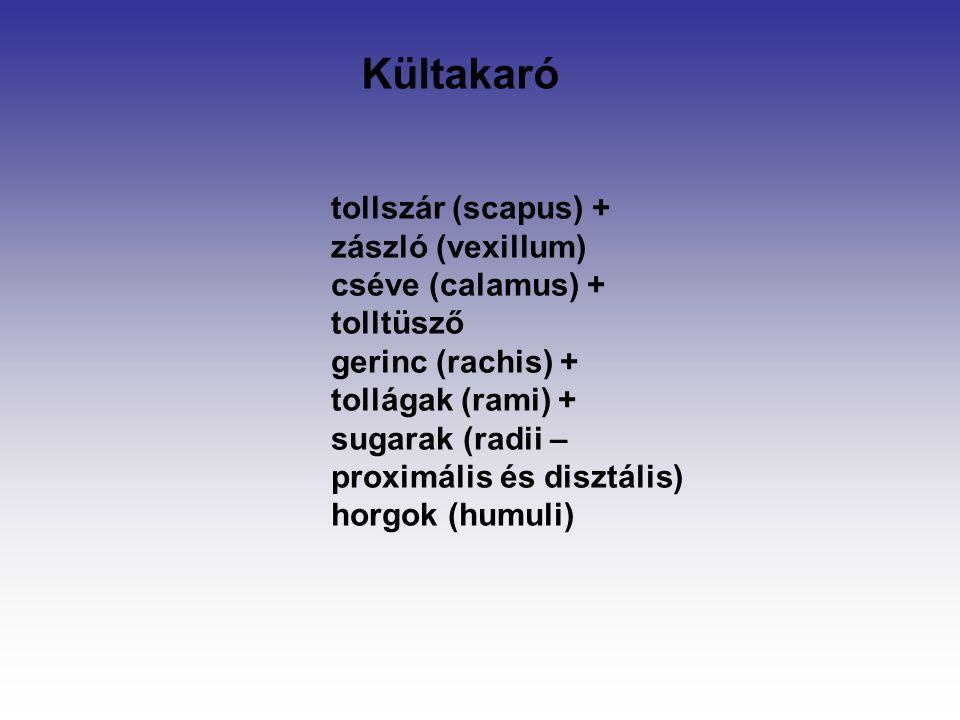 tollszár (scapus) + zászló (vexillum) cséve (calamus) + tolltüsző gerinc (rachis) + tollágak (rami) + sugarak (radii – proximális és disztális) horgok (humuli) Kültakaró