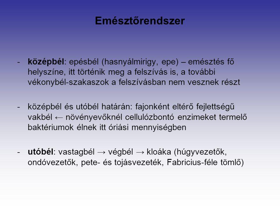 -középbél: epésbél (hasnyálmirigy, epe) – emésztés fő helyszíne, itt történik meg a felszívás is, a további vékonybél-szakaszok a felszívásban nem vesznek részt -középbél és utóbél határán: fajonként eltérő fejlettségű vakbél ← növényevőknél cellulózbontó enzimeket termelő baktériumok élnek itt óriási mennyiségben -utóbél: vastagbél → végbél → kloáka (húgyvezetők, ondóvezetők, pete- és tojásvezeték, Fabricius-féle tömlő) Emésztőrendszer