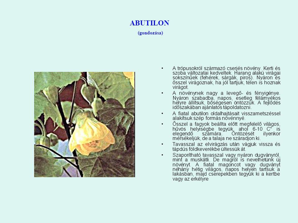 ABUTILON (gondozása) A trópusokról származó cserjés növény. Kerti és szoba változatai kedveltek. Harang alakú virágai sokszínűek (fehérek, sárgák, pir