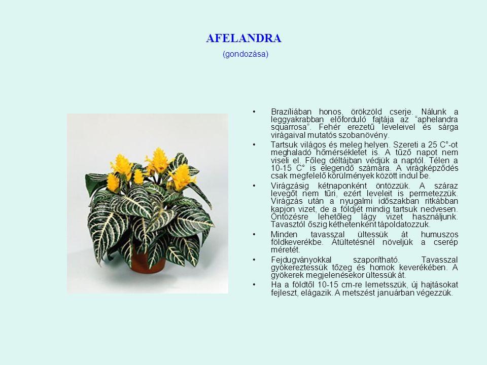 """AFELANDRA (gondozása) Brazíliában honos, örökzöld cserje. Nálunk a leggyakrabban előforduló fajtája az """"aphelandra squarrosa"""". Fehér erezetű leveleive"""