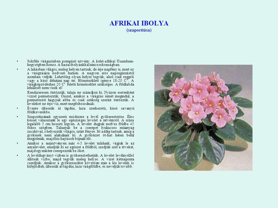 AFRIKAI IBOLYA (szaporítása) Sokféle virágszínben pompázó növény. A kelet-afrikai Usambara- hegységben honos. A hazai ibolyánkkal nincs rokonságban. A