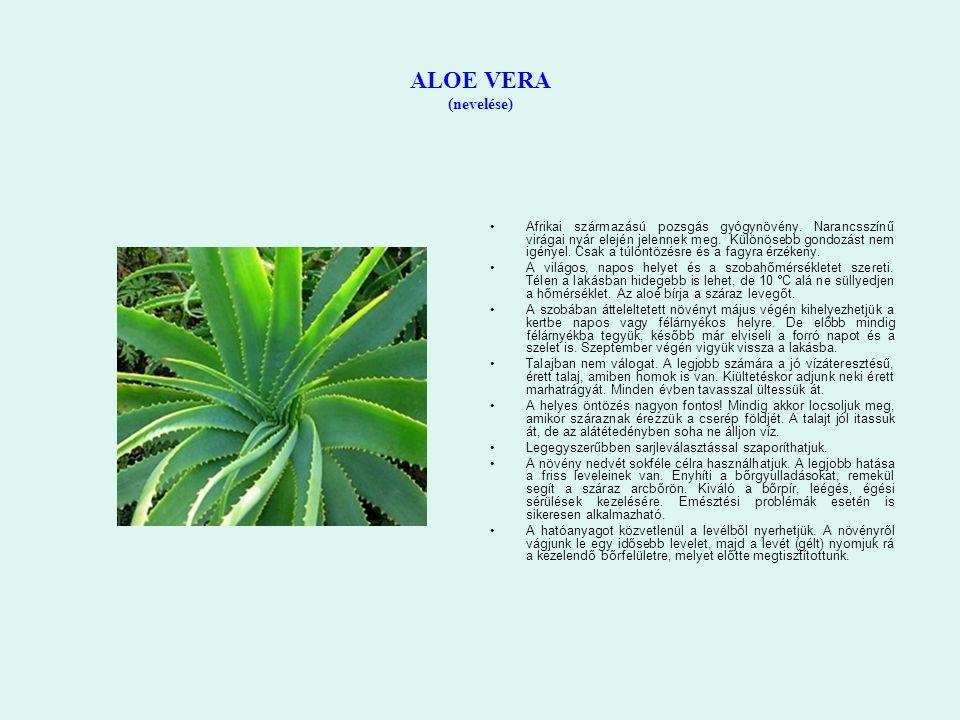 ALOE VERA (nevelése) Afrikai származású pozsgás gyógynövény. Narancsszínű virágai nyár elején jelennek meg. Különösebb gondozást nem igényel. Csak a t