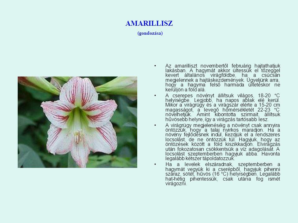 AMARILLISZ (gondozása) Az amarilliszt novembertől februárig hajtathatjuk lakásban. A hagymát akkor ültessük el tőzeggel kevert általános virágföldbe,