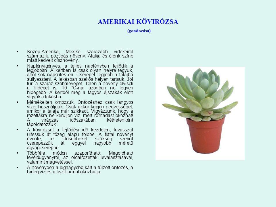 AMERIKAI KÖVIRÓZSA (gondozása) Közép-Amerika, Mexikó szárazabb vidékeiről származik, pozsgás növény. Alakja és élénk színe miatt kedvelt dísznövény. N