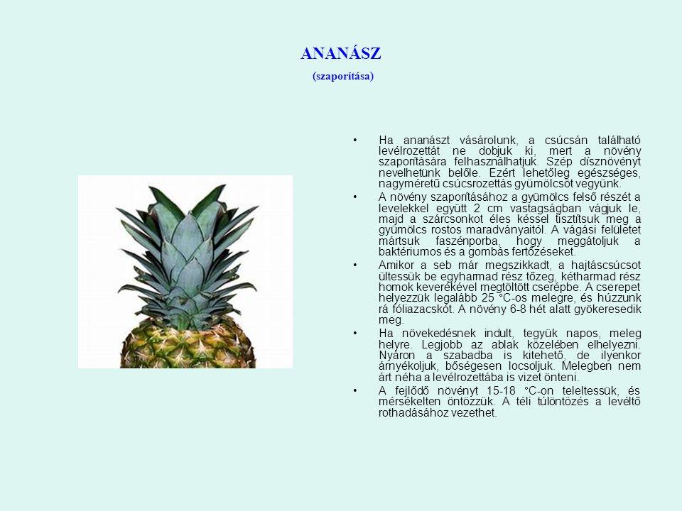 ANANÁSZ (szaporítása) Ha ananászt vásárolunk, a csúcsán található levélrozettát ne dobjuk ki, mert a növény szaporítására felhasználhatjuk. Szép díszn