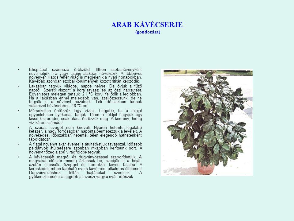 ARAB KÁVÉCSERJE (gondozása) Etiópiából származó örökzöld. Itthon szobanövényként nevelhetjük. Fa vagy cserje alakban növekszik. A többéves növényen il