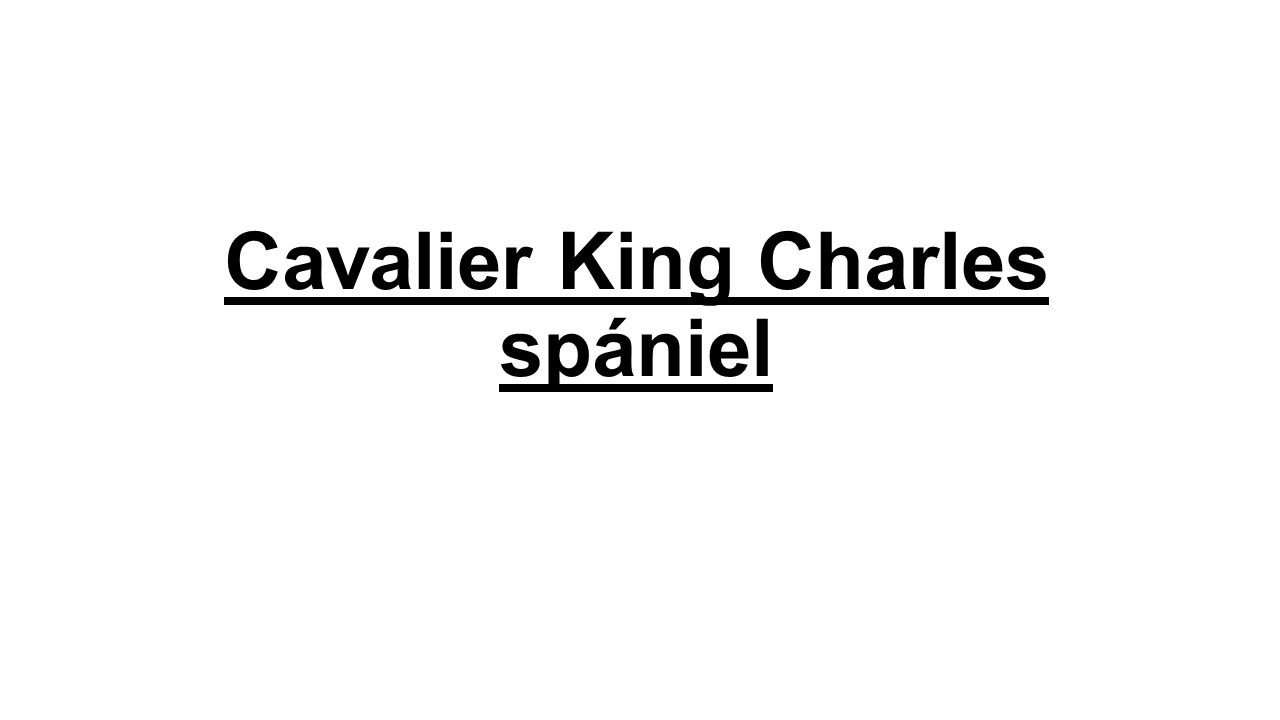 Cavalier King Charles spániel