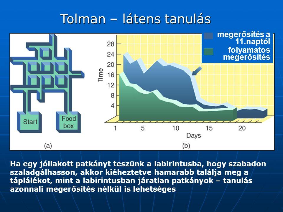 Ha egy jóllakott patkányt teszünk a labirintusba, hogy szabadon szaladgálhasson, akkor kiéheztetve hamarabb találja meg a táplálékot, mint a labirintusban járatlan patkányok – tanulás azonnali megerősítés nélkül is lehetséges Tolman – látens tanulás megerősítés a 11.naptól folyamatos megerősítés