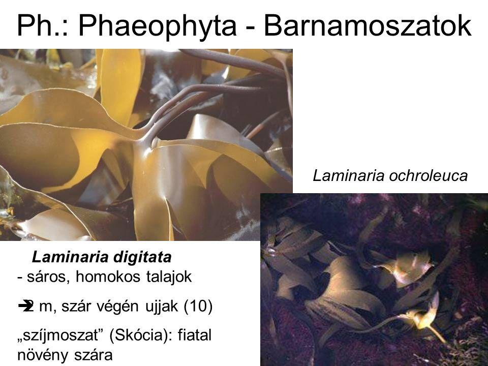 Ph.: Phaeophyta - Barnamoszatok alginátok / alginsavak: élelmiszer- és kozmetikai ipar (gélképző) (pl.