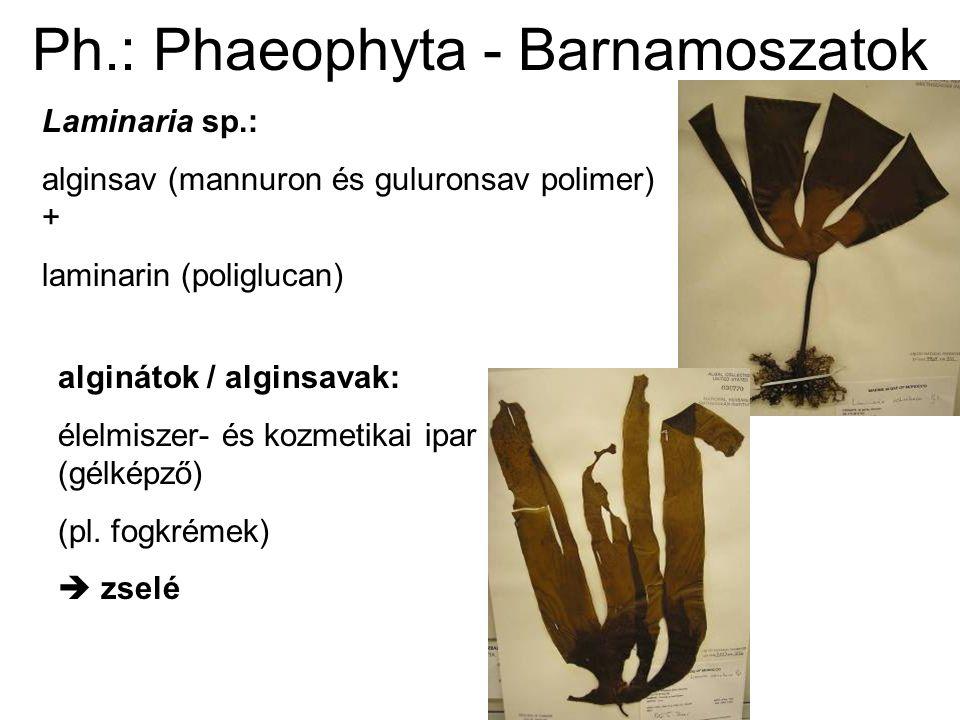 Laminaria saccharina (cukormoszat) rövid szár; szalagszerű, szélükön fodros levelek