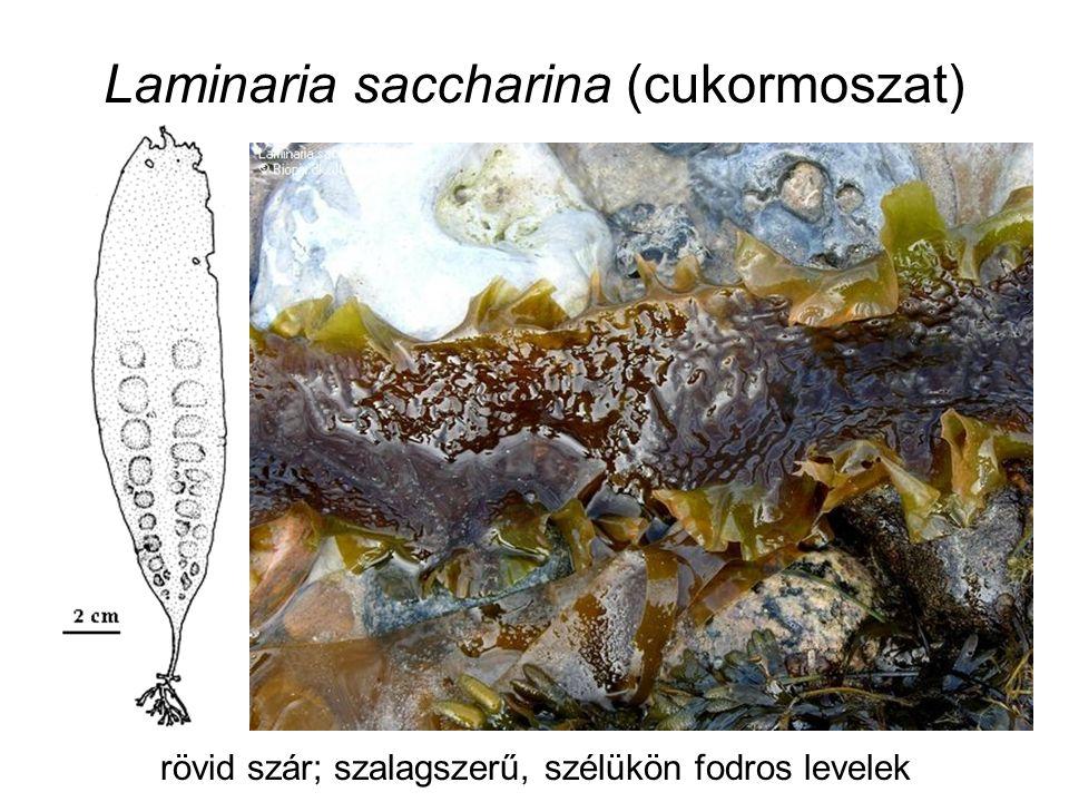 Laminaria saccharina (cukormoszat) -sekély, sziklás vizekben, part mentén (apály)  1,5 m - salátaként - alginátforrásként