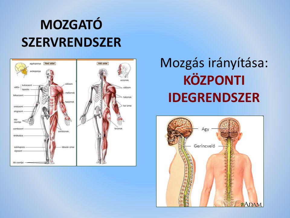 MOZGATÓ SZERVRENDSZER Mozgás irányítása: KÖZPONTI IDEGRENDSZER Agy Gerincvelő