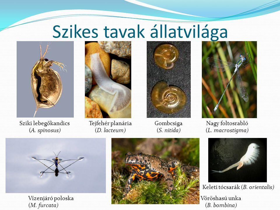 Szikes tavak állatvilága Sziki lebegőkandics (A. spinosus) Tejfehér planária (D.